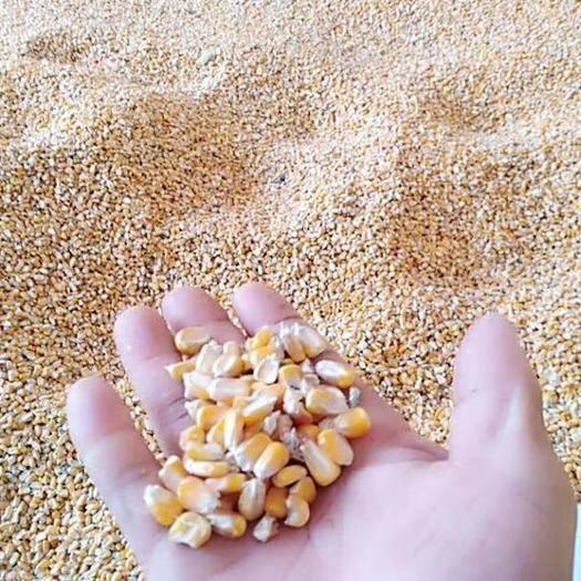 安徽省宿州市泗县 玉米粒