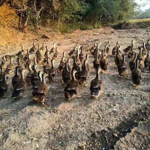 江西省宜春市上高县 4斤以上5000多羽麻鸭待售