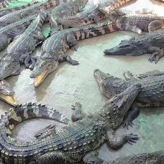 浙江省衢州市衢江区 鳄鱼肉     鳄鱼苗      全国各地发货
