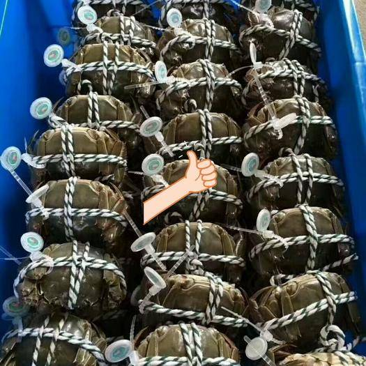 江苏省苏州市常熟市 苏州常熟塘养大闸蟹,品质好