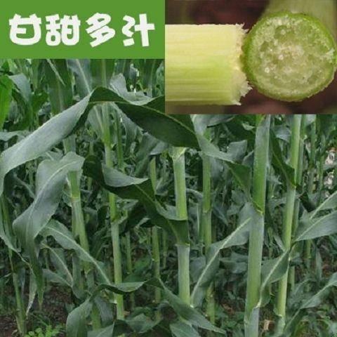 云南省昭通市鹽津縣 大力士甜高梁 飼用甜高粱種子高產耐旱進口養牛羊牧草種子