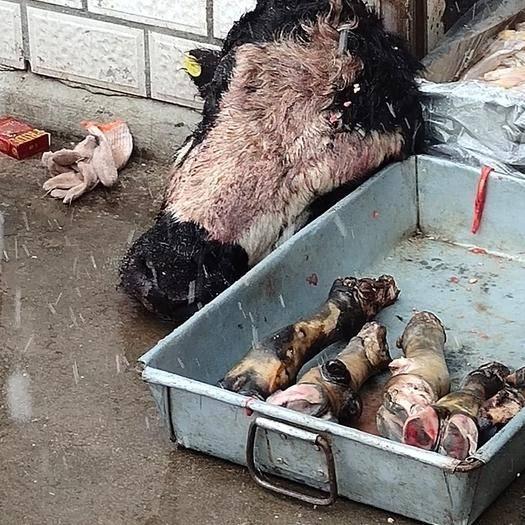 四川省阿坝藏族羌族自治州若尔盖县 牦牛牛头带舌头