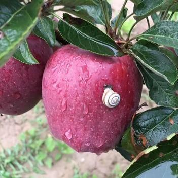《辰宣》礼县花牛苹果