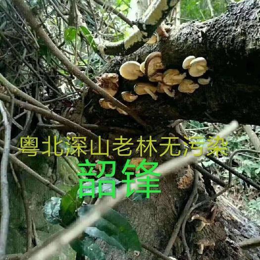 广东省韶关市乳源瑶族自治县 野生香菇