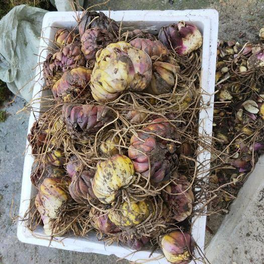 重慶市武隆區 岷江百合種球 南川百合種球藥用紫色百合種球千葉王百合