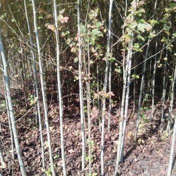 枫香苗 枫香地径2厘米