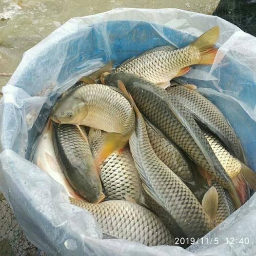 重慶市銅梁區 鯉魚,荷花鯉
