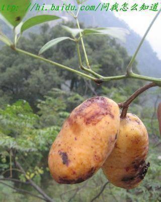 江西省赣州市赣县区 纯正大自然野木瓜也称木通果,少量发货中