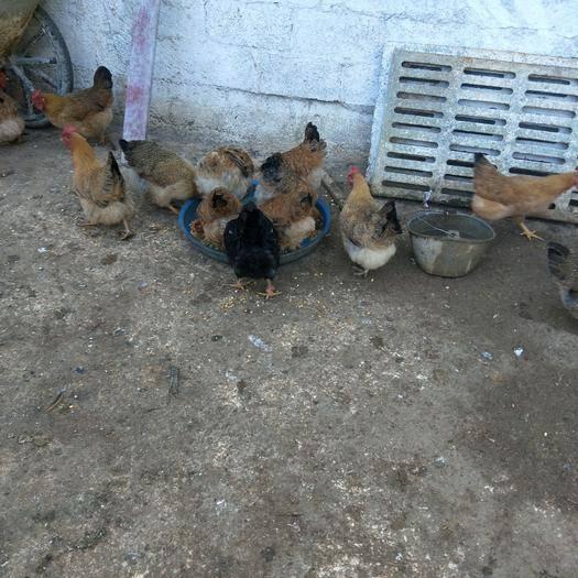 广西壮族自治区河池市大化瑶族自治县 160天的项鸡