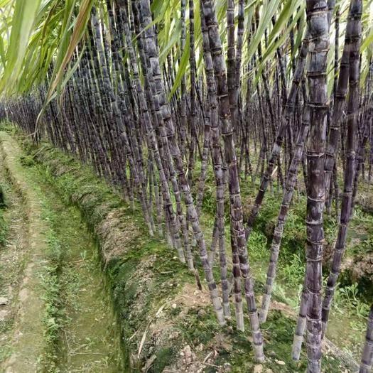 广西壮族自治区玉林市博白县 广西黑皮甘蔗,脆甜多汁,份量足,欢迎前来选购