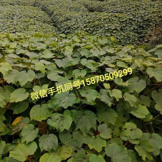 重庆市石柱土家族自治县法国桐树 油桐树苗现货