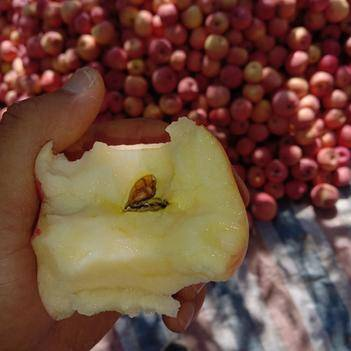 紅富士蘋果 白水有機紅富士高次果