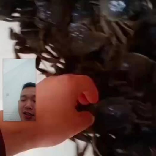 湖北省潜江市潜江市兴化大闸蟹 2.3-2.5母