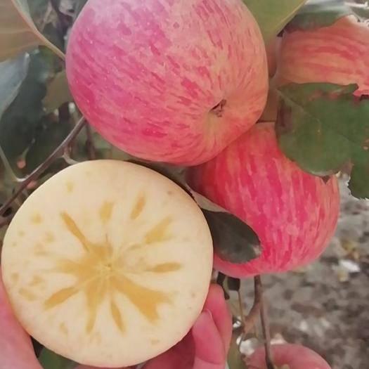新疆维吾尔自治区阿克苏地区温宿县 阿克苏冰糖心苹果主要产地位于新疆阿克苏地区温宿县,