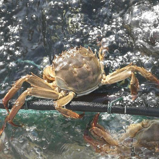 江苏省常州市新北区 大闸蟹 生态养殖 产地直销  公母2两~6两