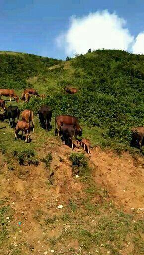 湖南省永州市雙牌縣 純放養本地黃牛。肉牛及種牛。