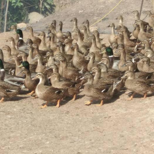 广东省茂名市化州市 水鸭出售天天都有货来电