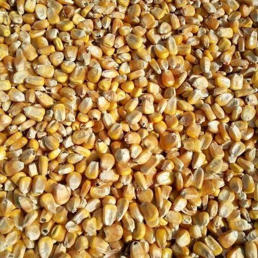 黑龙江省佳木斯市富锦市玉米干粮 二等以上干粮水分14以内 容重710左右