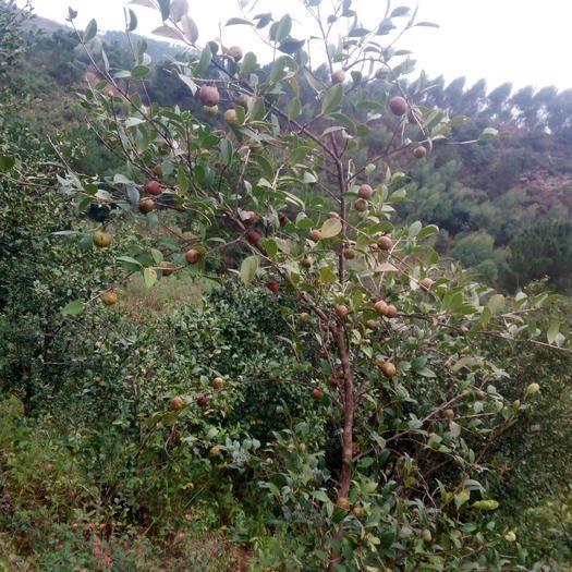 广西壮族自治区贺州市钟山县野生山茶油 野生无公害茶籽油