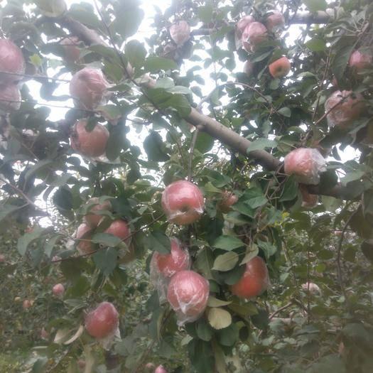山西省运城市临猗县 黄土高坡冰糖心苹果采摘开始了,望亲们关注,质量保证,价格优惠