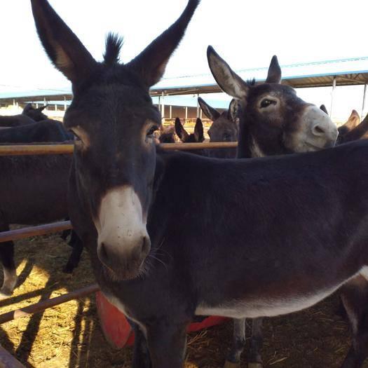 內蒙古自治區赤峰市巴林左旗毛驢 200-400斤