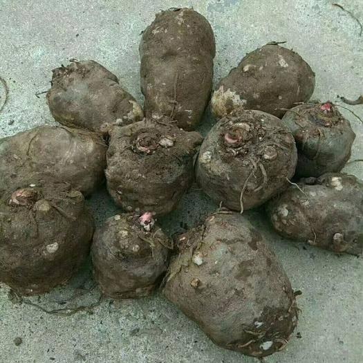 陜西省商洛市丹鳳縣 優質魔芋種5噸現貨出售