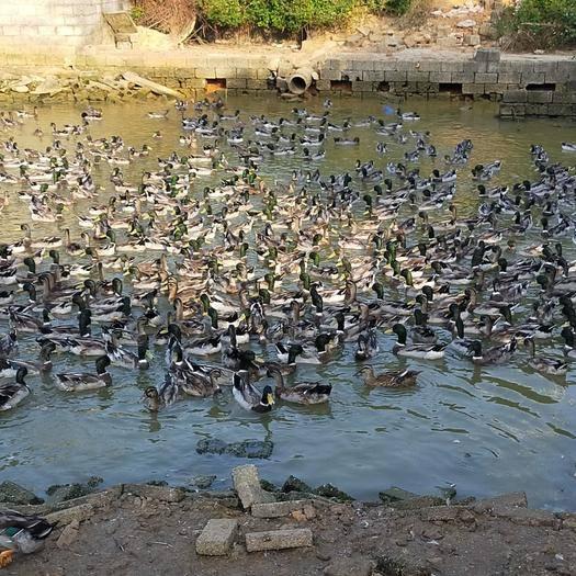 广东省茂名市茂南区青头鸭 青头水鸭