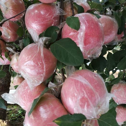 河北省石家莊市晉州市 紅富士蘋果海量貨源膜袋紙袋紙加膜脆甜電商微商年后發貨