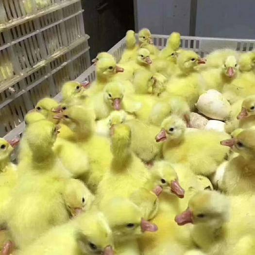 江苏省徐州市新沂市 鹅苗鸭苗鸡苗孵化出壳销售