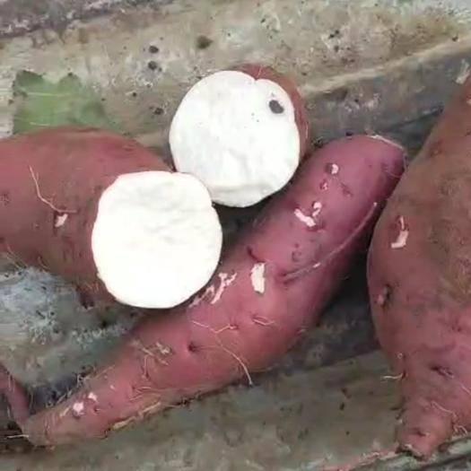 安徽省亳州市蒙城县商薯19号 商薯19