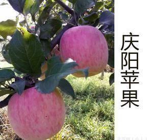 甘肃省庆阳市宁县 我们的苹果,口感色泽,绝对让你放心,天农药残留,家肥耕耘。