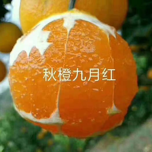 湖北省宜昌市秭归县九月红脐橙 皮薄、汁多、肉汁细腻,入口即化