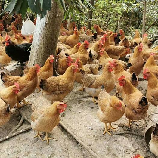 广西壮族自治区来宾市兴宾区灵山鸡 土项