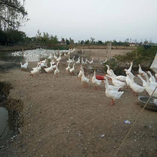 湖北省荆州市荆州区 生态白鹅