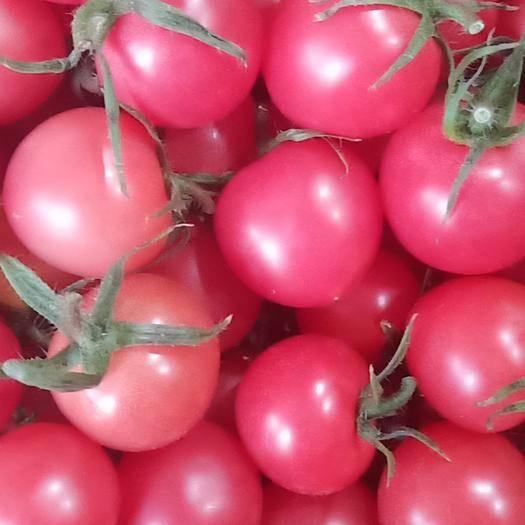 山东省潍坊市寿光市粉贝贝圣女果 精选优良品种,从种苗培育到产销,