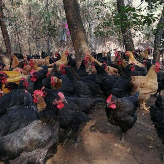 江西省吉安市吉安县黑鸡 全散养土黑、黄母