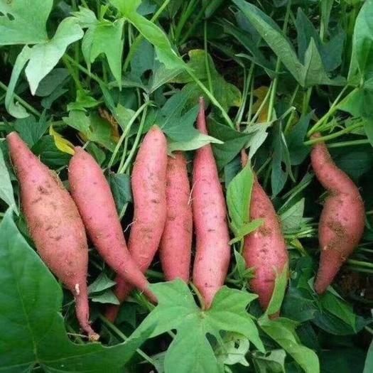 山东省潍坊市坊子区烟薯25 烟薯,济薯大量供应!