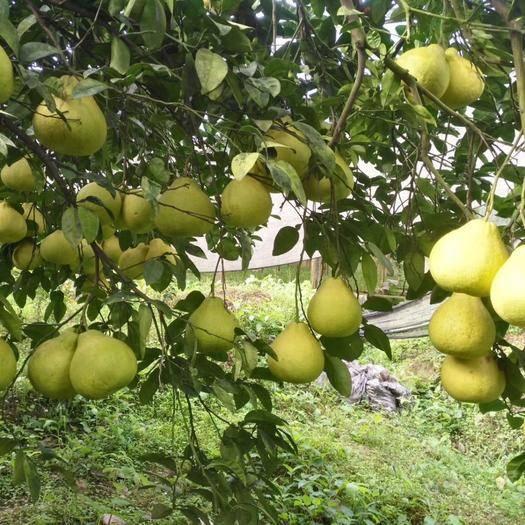 四川省泸州市合江县真龙柚 绿色无污染