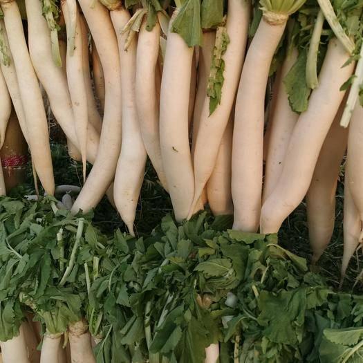 山东省临沂市罗庄区 长白大萝卜,水洗白条