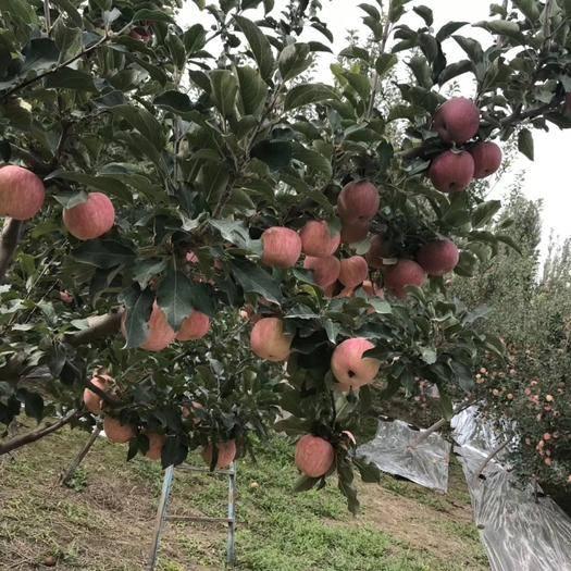 新疆维吾尔自治区阿克苏地区温宿县 来自阿克苏冰糖心苹果,可以看的到的品质。