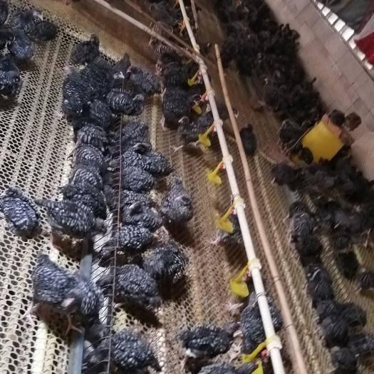 安徽省蚌埠市怀远县 芦花鸡苗,五黑鸡苗打包发货,出售各种鸡苗成品鸡支持全国发货