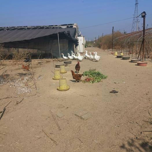 河北省唐山市滦南县 150天纯种散养白鹅,均9斤以上!有需求者请联系我!