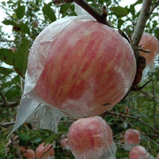 山西省运城市临猗县红富士苹果 75mm以上 条红 纸+膜袋