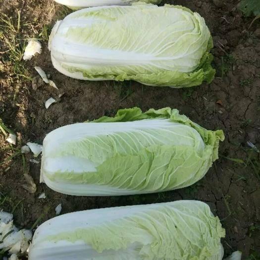 河南省周口市郸城县高白大白菜 3~6斤 净菜