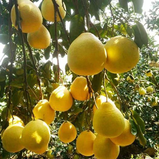 廣西壯族自治區玉林市容縣 正宗容縣沙田柚老樹果水分足夠甜產地直供
