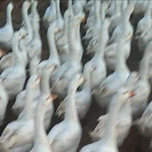 辽宁省大连市普兰店区 自己家养的大鹅
