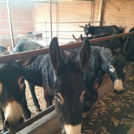 內蒙古自治區赤峰市寧城縣 出售各種毛驢