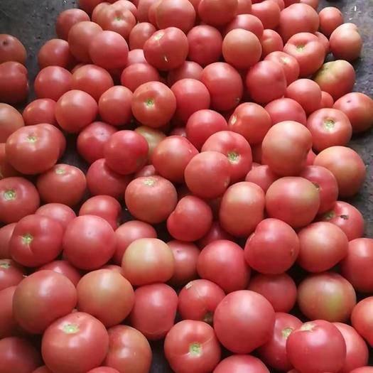 河南省新乡市延津县大红西红柿 通货 弧二以上 硬粉
