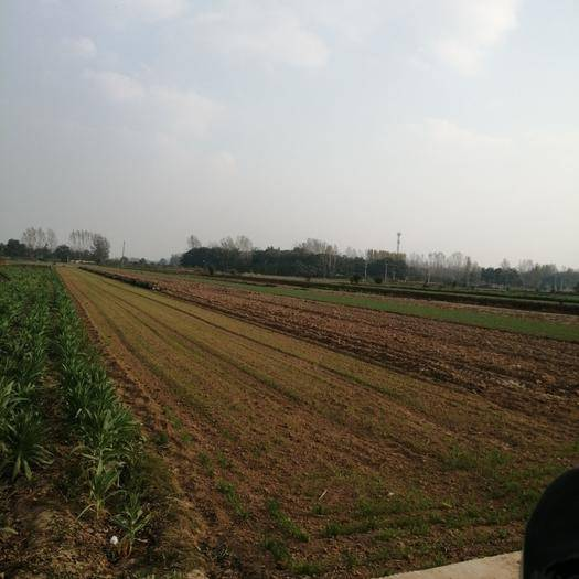 安徽省亳州市譙城區 白芍種苗,白芍種子