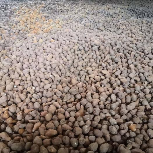 貴州省畢節市七星關區 魔芋種子